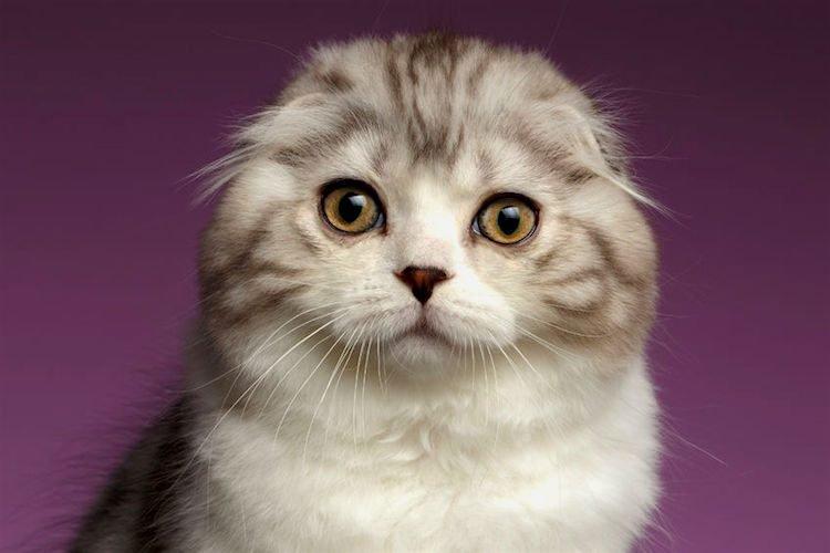 蘇格蘭摺耳貓
