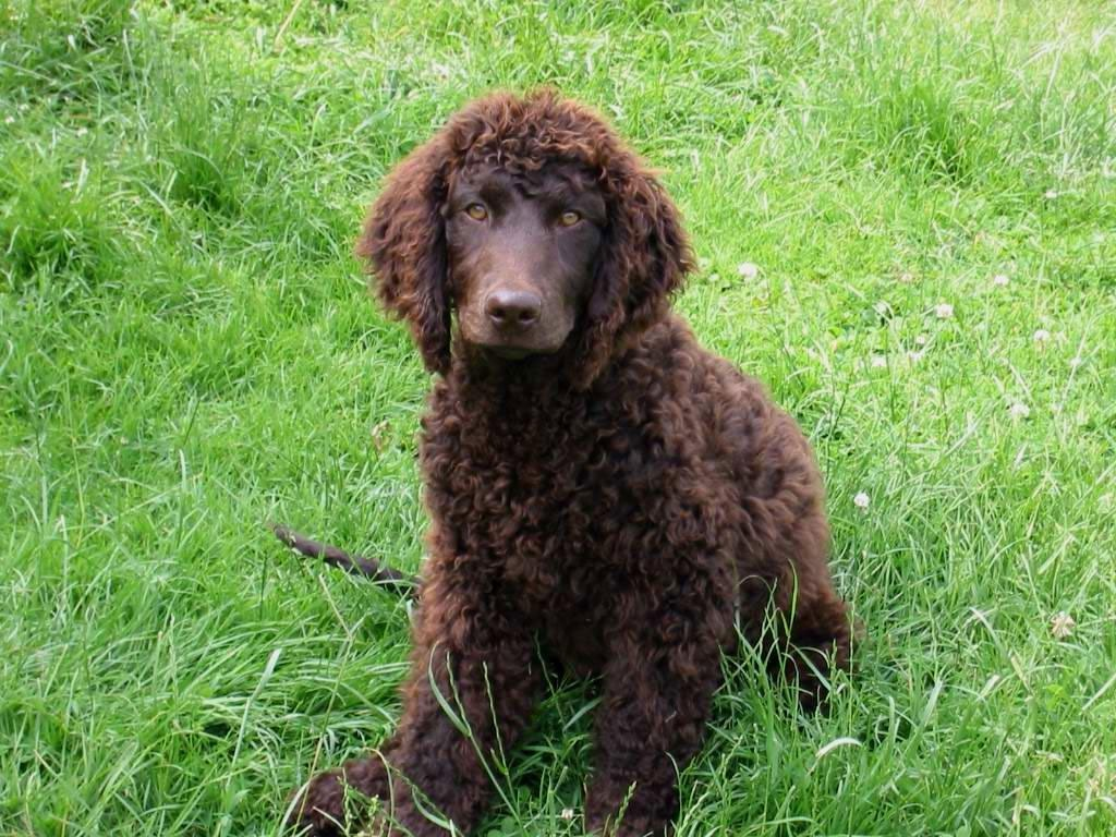 American-Water-Spaniel-Pictures-3