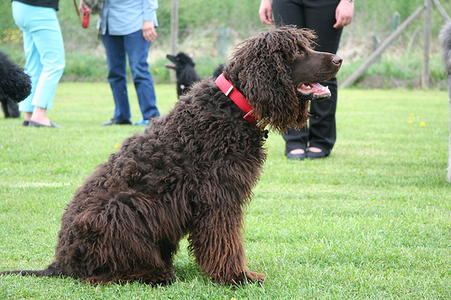 Irish-Water-Spaniel (1)