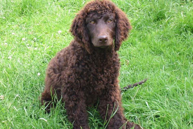 Irish-Water-Spaniel