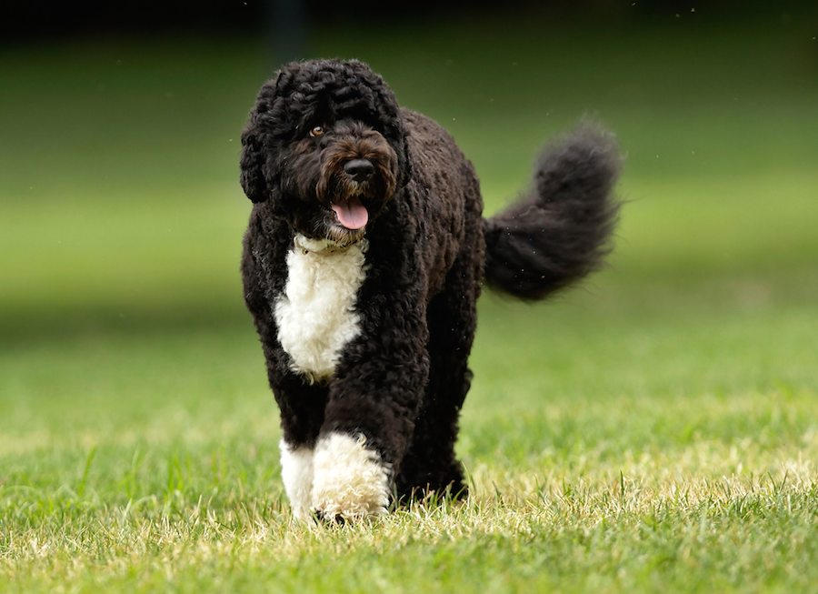Portuguese-Water-Dog-Image