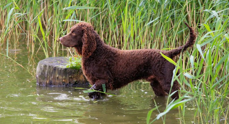 american-water-spaniel-750x405