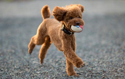 toy-poodle-1486041884-2-1