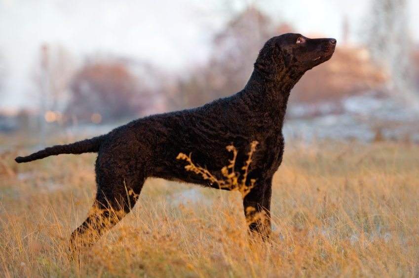Curly-Coated-Retriever-Breed