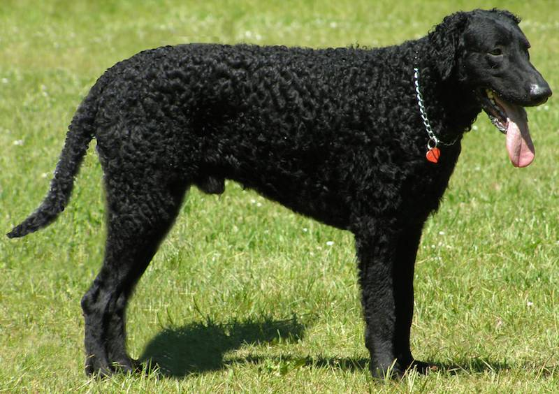 Curly-Coated-Retriever-dog-breed