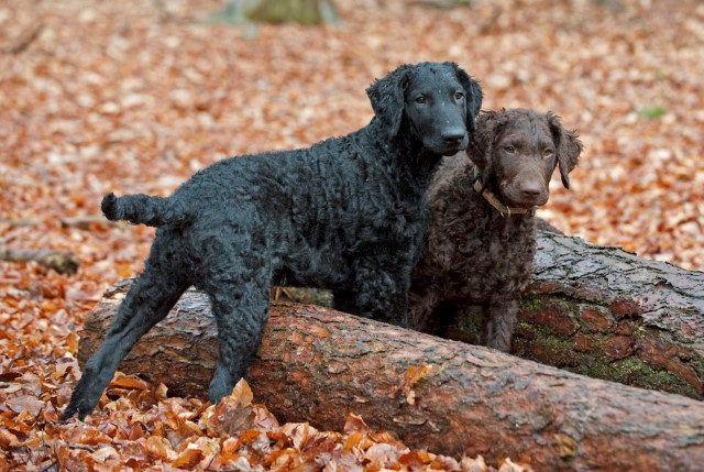 curly-coated-retriever-15