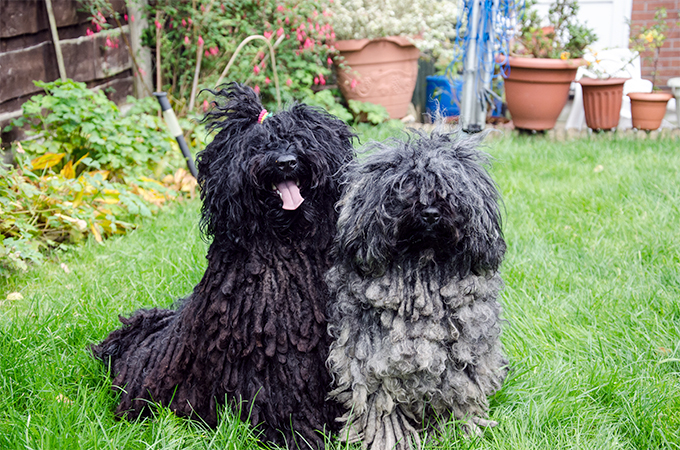 Puli Dogs At Lawn