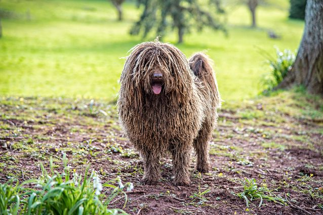 puli-dog.jpg.638x0_q80_crop-smart